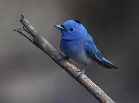 pajaro azul.jpg